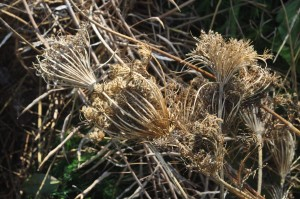 Seed heads on the compost pile