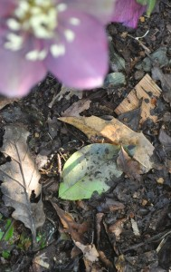 One of my stores of naturally falling leafmould by the hellebores (3)