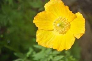 Welsh poppy close up