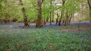 woods and bluebells (2)