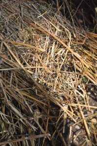 Putting a brown layer into the compost bin (in this case straw from the chickens) (2)
