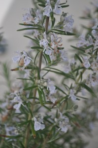 Pollinators love rosemary flowers