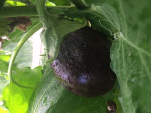 aubergine-2